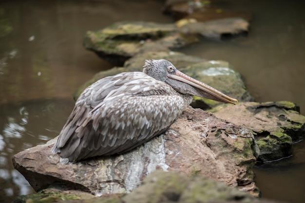 O pelicano cinzento ou o pelicano ponto-faturado encontram-se para baixo. animais selvagens.