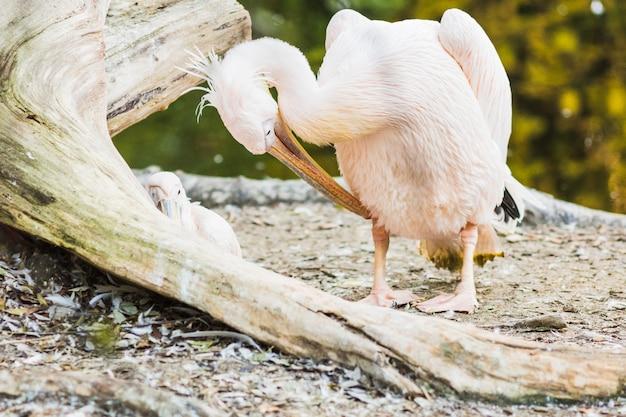 O pelicano-de-rosa-suportado ou pelecanus rufescens retrato