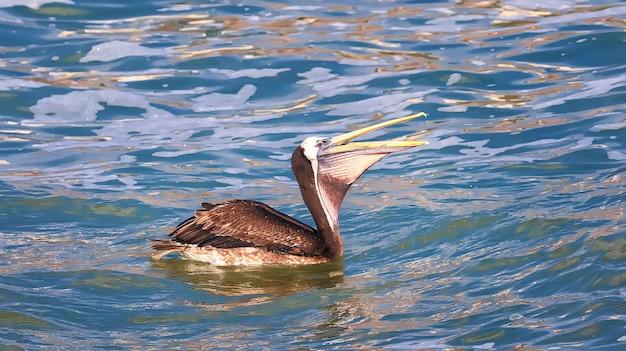 O pelicano peruano (pelecanus thagus) nada no oceano pacífico, perto de lima, peru. américa do sul