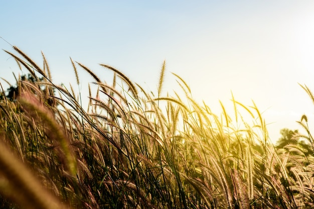 O pennisetum da pena ou a grama da missão incandescem de encontro à luz solar.