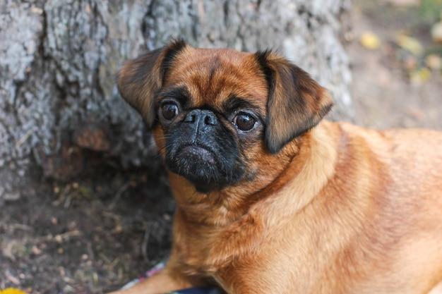 O pequeno cão brabancon com cor castanha deitado debaixo da árvore em
