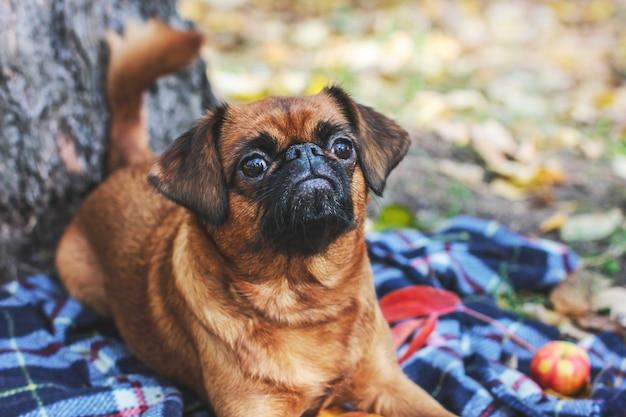 O pequeno cão brabancon com cor castanha deitado debaixo da árvore