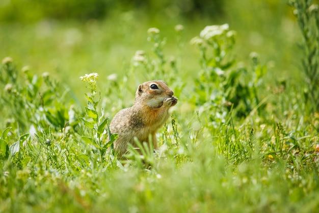 O pequeno gopher senta-se na grama verde e guarda comida nas patas.