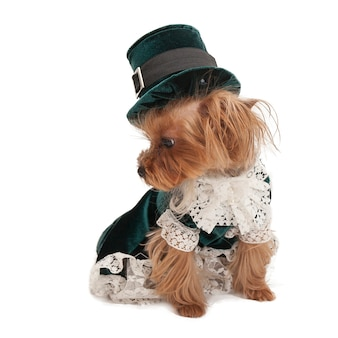 O pequeno yorkshire terrier em um lindo terno antiquado em um fundo branco