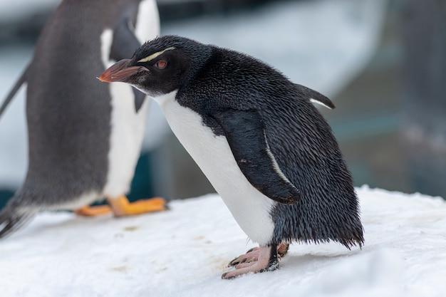 O pinguim de rockhopper em fundo branco de neve