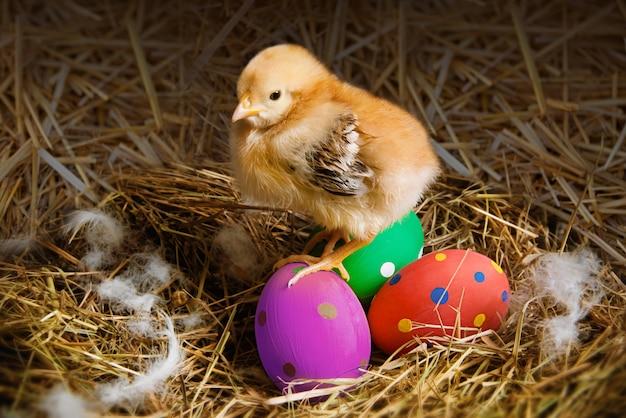 O pintainho e os ovos da páscoa amarelos em uma palha aninham-se.