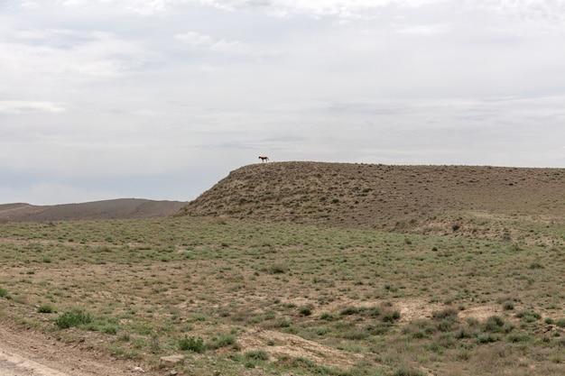 O planalto de ustyurt. o cavalo fica em uma colina alta. distrito de boszhir. o fundo de um oceano seco tethys. restos rochosos. cazaquistão