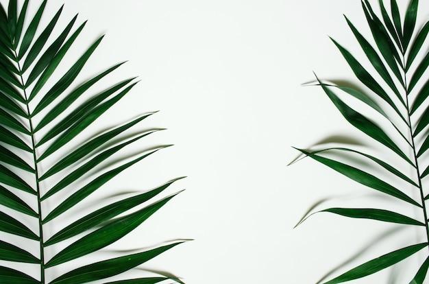O plano verde coloca ramos em folha de palmeira tropicais no fundo branco. espaço para texto, cópia, letras.