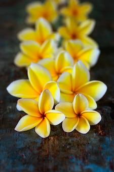 O plumeria amarelo do frangipani floresce na obscuridade - tabela de madeira azul.