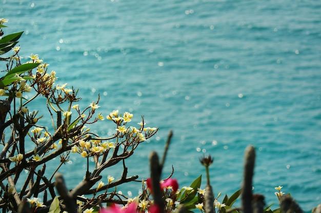O plumeria branco floresce na árvore com folhas verdes e no mar bonito nas horas de verão.
