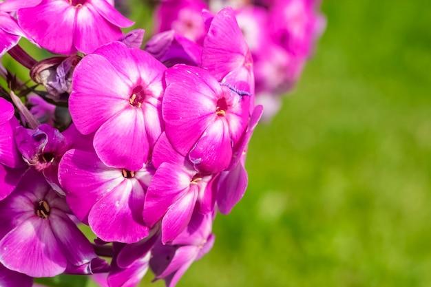 O pólen de phlox paniculata amadureceu. close-up de flores lilás roxas. copie o espaço