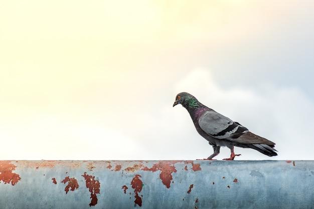 O pombo comprometido anda para a frente em uma estrutura de aço abandonada na manhã.