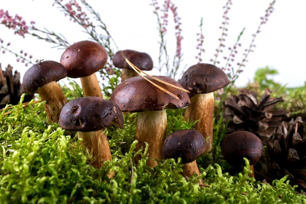 O porcini selvagem do badet do boleto cresce rapidamente cogumelos no musgo.