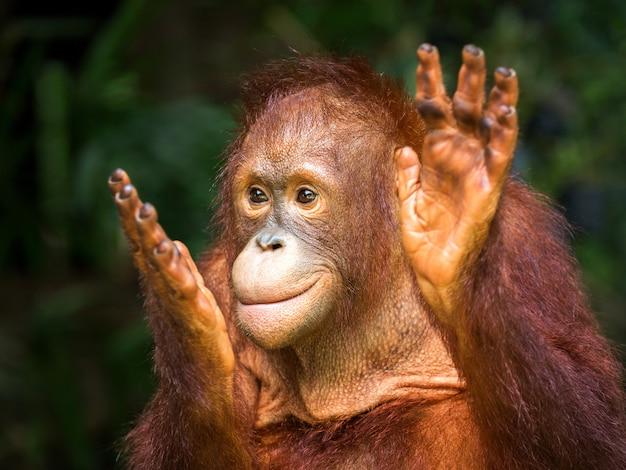 O prazer de aplauso do orangotango novo no ambiente natural do jardim zoológico.