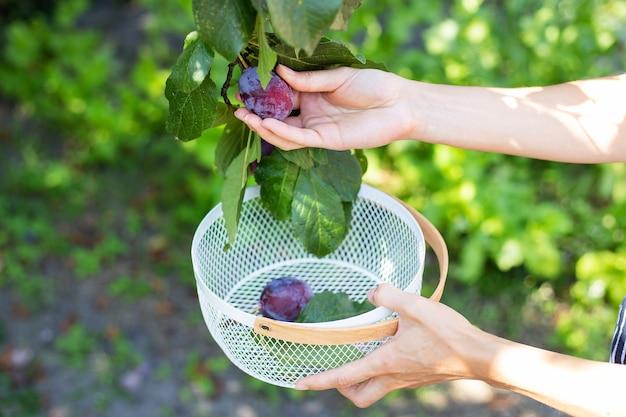O processo de colheita de ameixas, ameixas azuis na árvore, ameixas futuras estão crescendo no jardim.