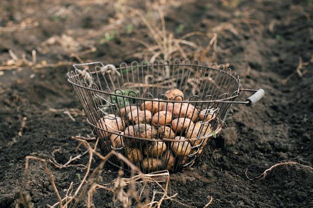O processo de colheita de batatas. agricultura. batatas em uma cesta