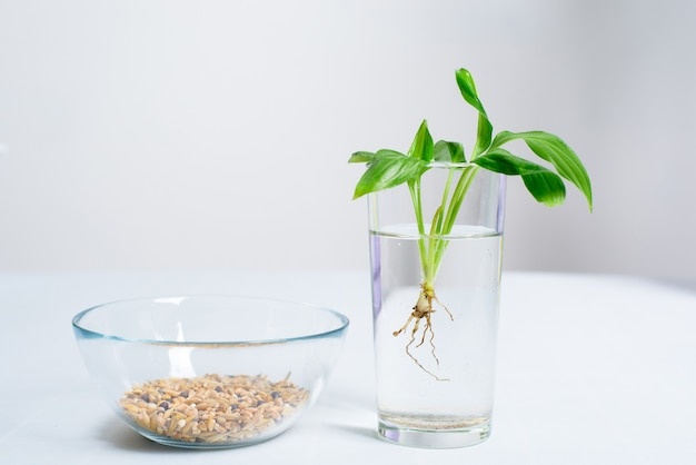 O processo de plantar uma flor em um vaso em um vaso para germinação em casa