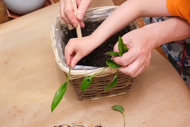 O processo de transplante de uma planta de casa drimiopsis em um novo solo, close-up de uma planta bulbosa. uma mulher idosa e uma criança plantam uma flor