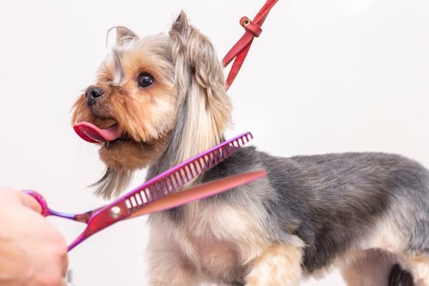O profissional cuida de um cachorro em um salão especializado. aparadores de barba segurando ferramentas nas mãos. conceito de groomer