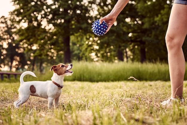 O proprietário brinca com o cachorro jack russell terrier no parque