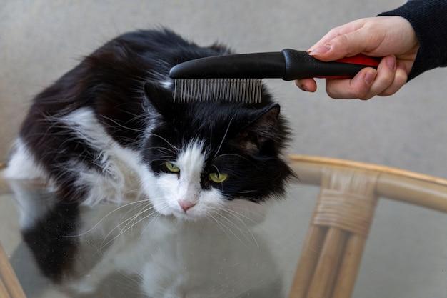 O proprietário está penteando o pelo de um gato doméstico fofo