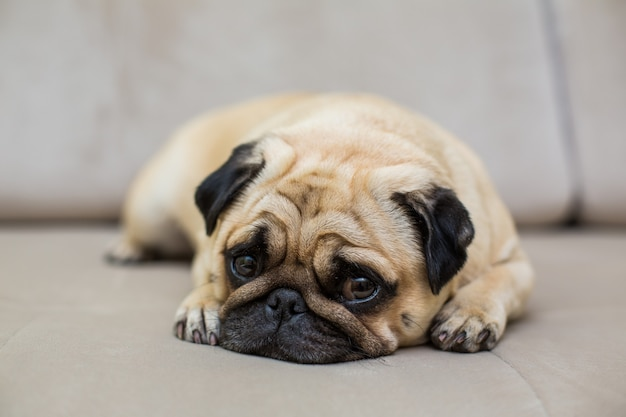 O pug está descansando no parquete natural, o cachorro cansado está deitado no chão, vista de cima