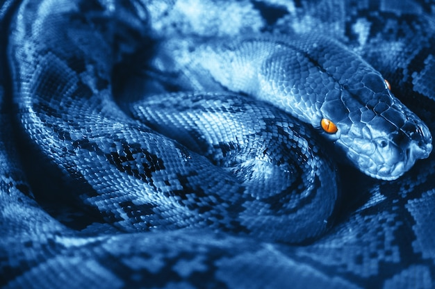 O python em repouso alterna os anéis. fazenda de serpentes na tailândia.