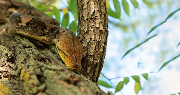 O python rasteja rapidamente ao longo dos galhos das árvores em busca de presas