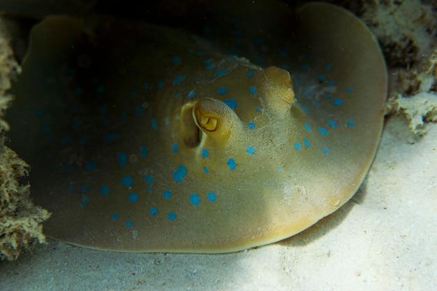 O raio de rabo de fita com manchas azuis (taeniura lymma) fica no fundo do mar.