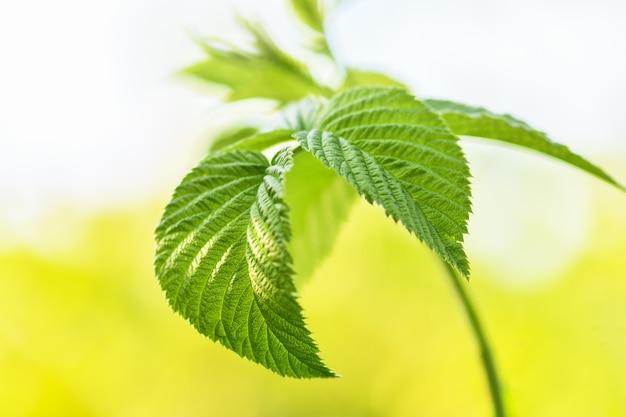 O ramo da framboesa com verde deixa o close-up no jardim antes que as plantas comecem a florescência. fotografia horizontal