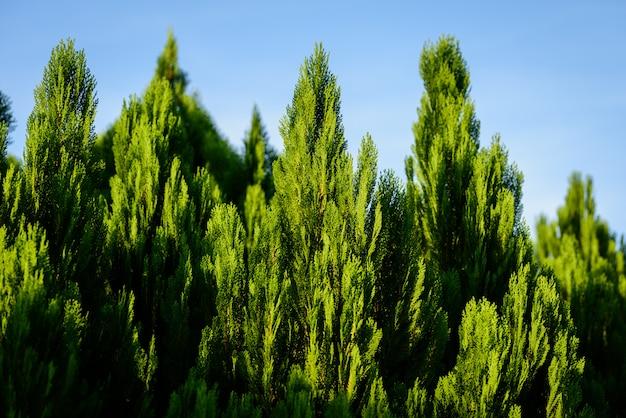 O ramo de pinheiro com céu azul.