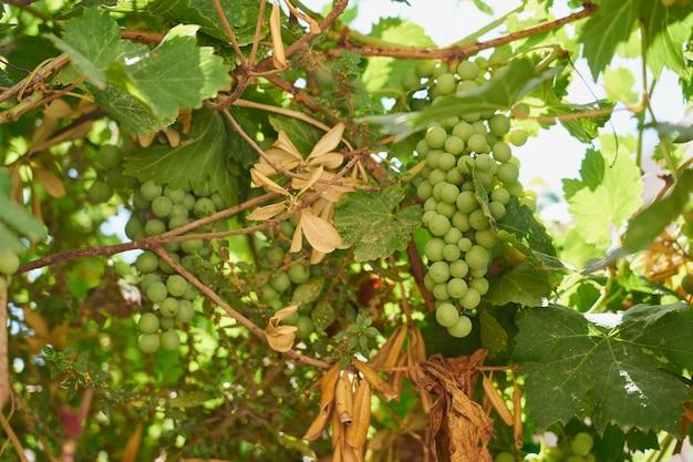 O rasgo de uvas verdes maduras crescendo na vinha.