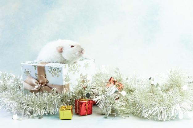 O rato branco pequeno bonito, rato senta-se na caixa de presente festiva.