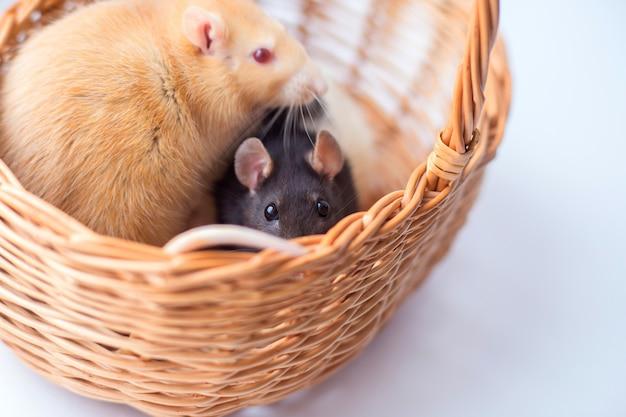 O rato cinzento que uma represa olha fora de uma cesta wattled. símbolo do ano