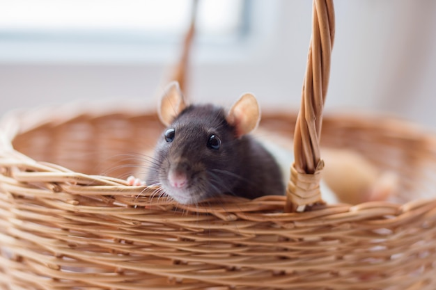 O rato cinzento que uma represa olha fora de uma cesta wattled.