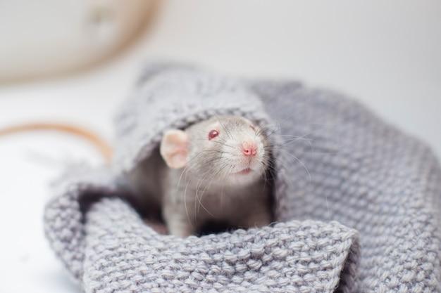 O rato decorativo cinzento cornysh com olhos vermelhos senta-se em uma camisola cinzenta de malha