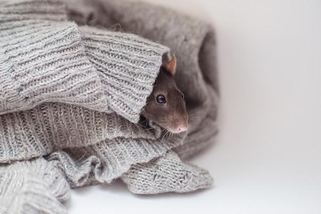 O rato decorativo doméstico abafado em um suéter cinzento tricotado e aquece-se. ano de um rato 2020