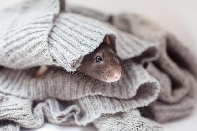 O rato decorativo doméstico abafado em um suéter cinzento tricotado e aquece-se.