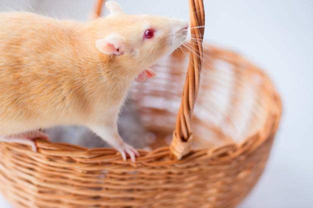 O rato decorativo vermelho cheira uma cesta wattled
