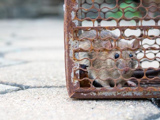 O rato estava em uma jaula pegando