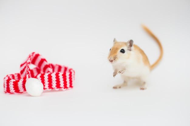 O rato vermelho o sibit gerbil mongol em branco