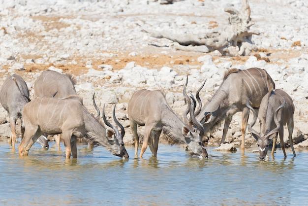 O rebanho de kudu que bebe do waterhole de okaukuejo. safari da vida selvagem no parque nacional etosha, destino de viagem majestosa na namíbia, áfrica.