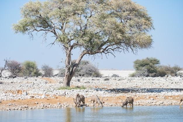 O rebanho de kudu que bebe do waterhole de okaukuejo. safari da vida selvagem no parque nacional etosha.