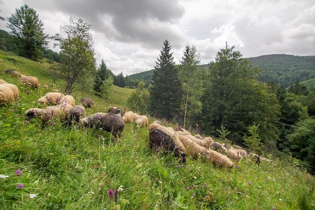 O rebanho de ovelhas pastando no campo de colinas verdes