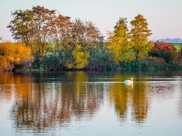 O reflexo de árvores multicoloridas de outono em um rio no qual flutua o cisne branco.