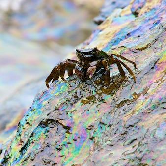 O reflexo do caranguejo e do arco-íris do derramamento de óleo bruto na pedra na praia, concentra-se no caranguejo