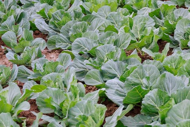O repolho branco cresce na fazenda orgânica. campo de repolho. repolho verde no jardim.