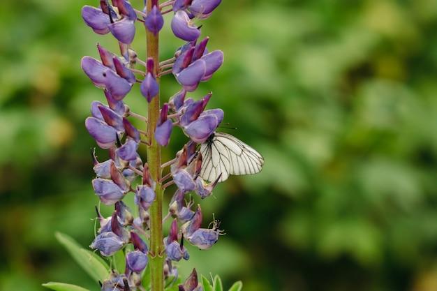 O repolho recolhe o néctar de lupin lilac.