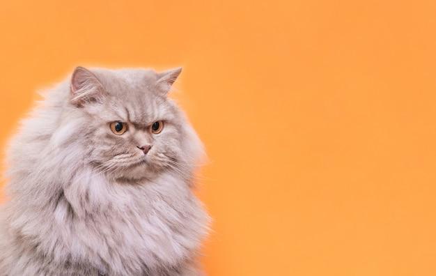 O retrato de um animal de estimação macio bonito, um gato em um fundo alaranjado olha de lado o lugar para o texto.