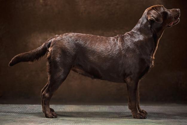 O retrato de um cachorro labrador marrom